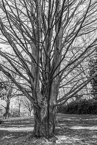 Bare Tree Early Spring