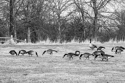 Canadian Geese Black and White