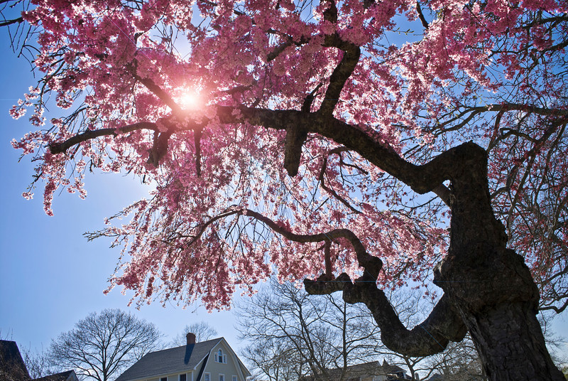 """""""Sunshine Blossoms""""<br /> The sun shining through the cherry blossoms in Spring Lake, New Jersey."""