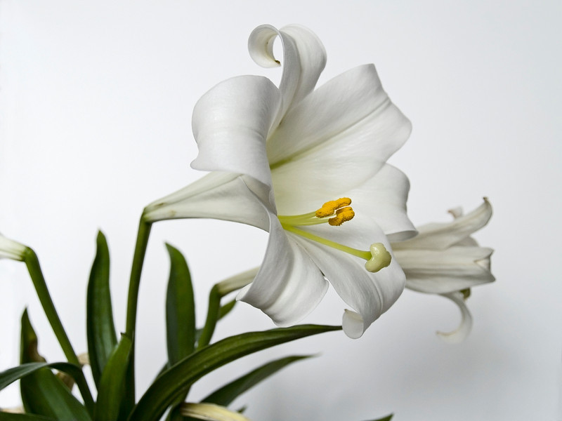 The Easter Lilly