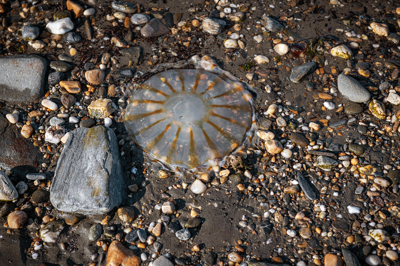 Jellyfish Nome