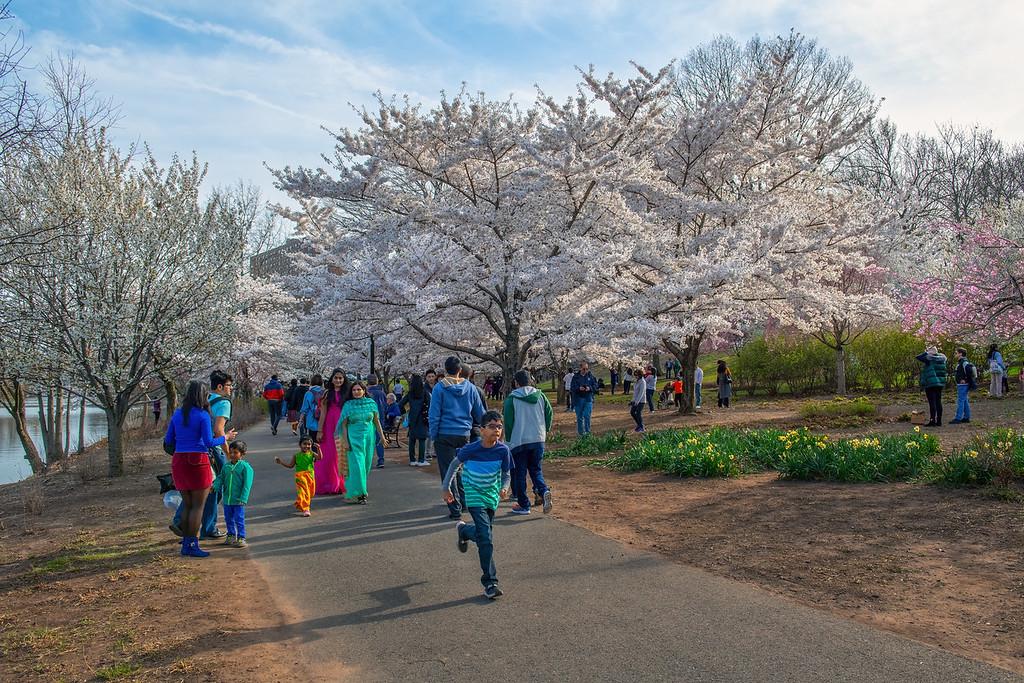 Branchbrook Cherry Blossoms
