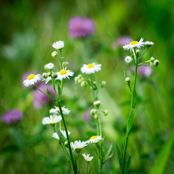 Soft Focus Wildflowers