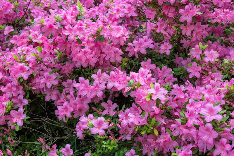 Azalea Bush Background