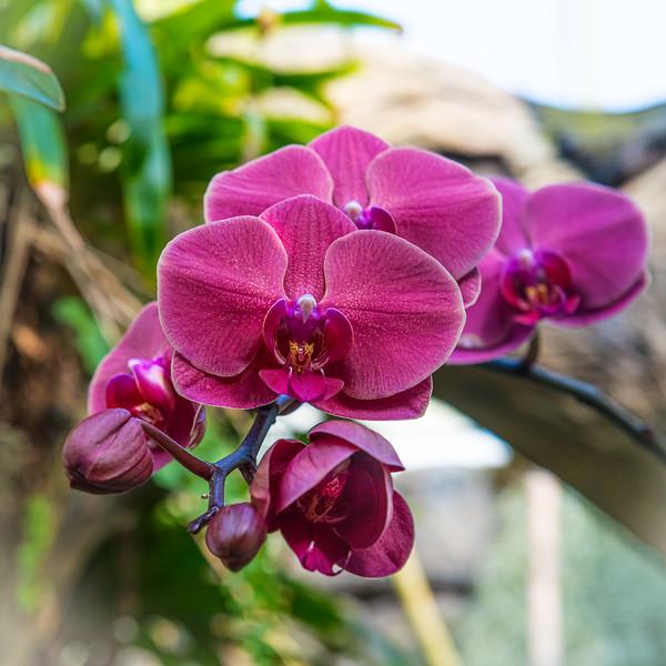Magent Orchid Closeup