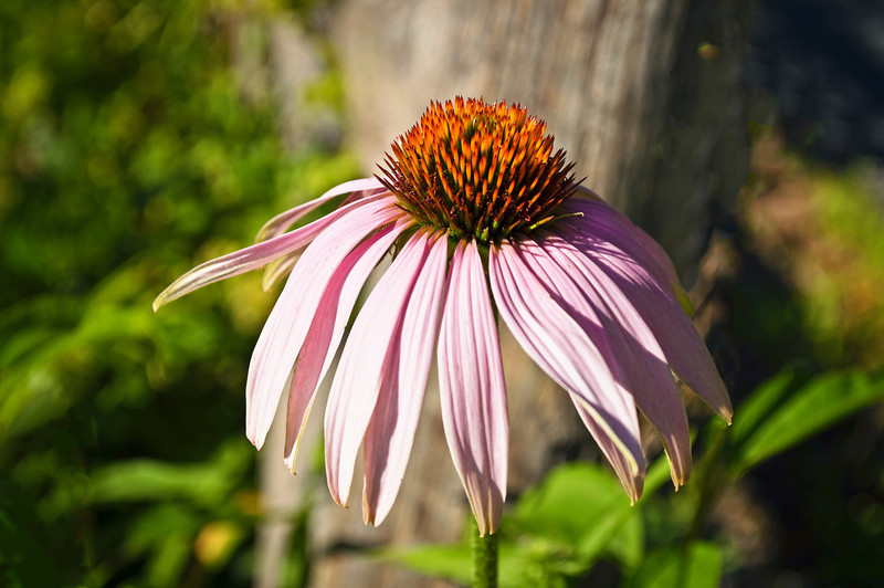 """Coneflower Close-up""<br /> <br /> A close-up of a coneflower in a Summer garden."