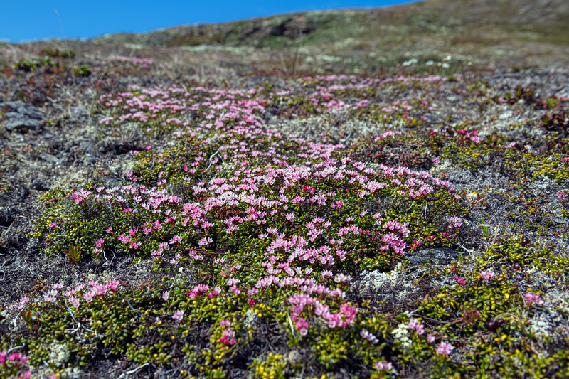Petite Flowers of the Tundra