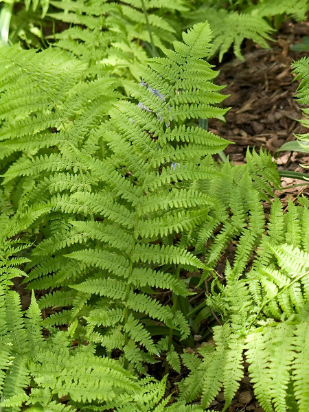 """Ferns Background""<br /> A green Summer fern background photo."