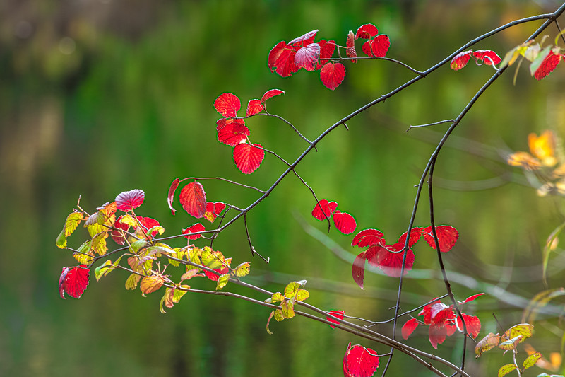Red Leaves Branch