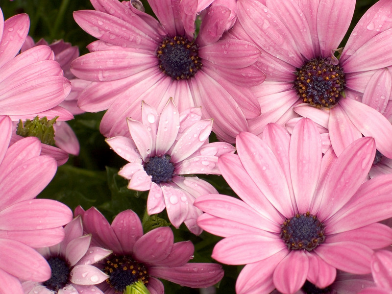 """Pink Daisies""<br /> A group of pink daisies in a Summer garden."