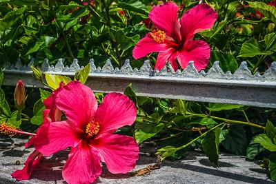Hibiscus in Bermuda