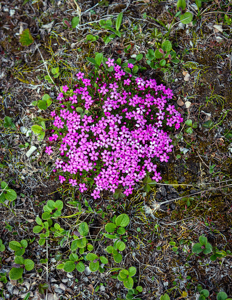 Wildflowers of the tundra