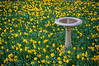 Daffodils and Bird Bath