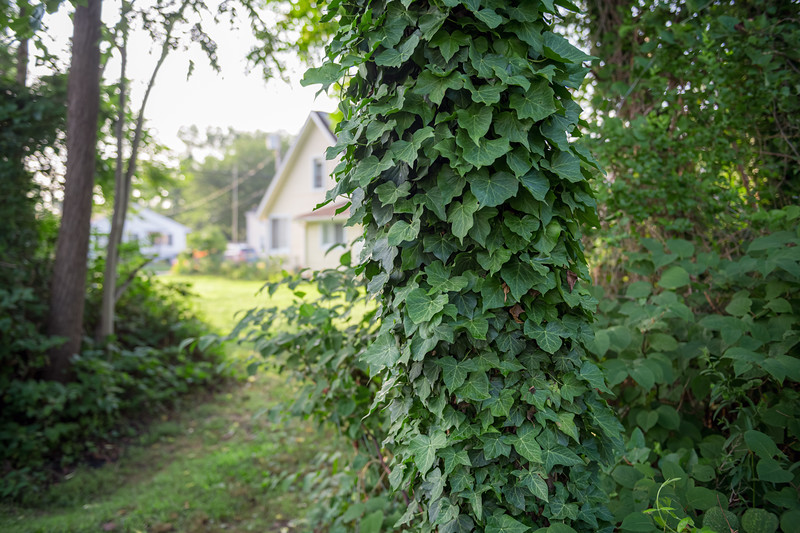 Ivy Out Back