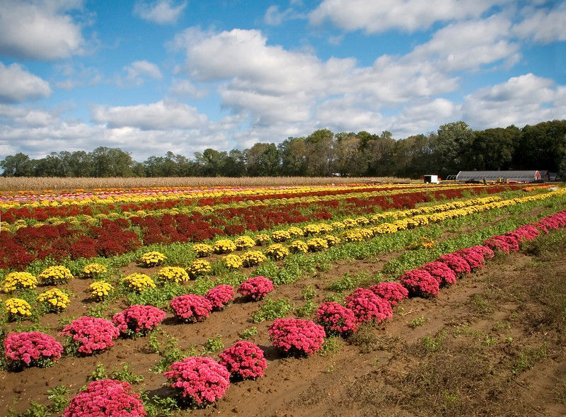 """Field of Mums""<br /> Rows of mums in this field in Central New Jersey."