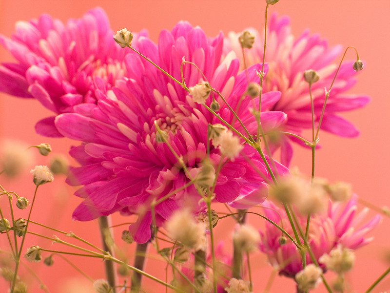 """Carnations""<br /> A close-up look of the carnation flower."