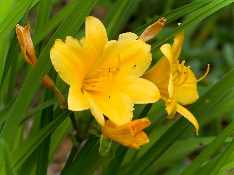 """""""Daffodil""""<br /> A daffodil closeup in a Spring garden."""