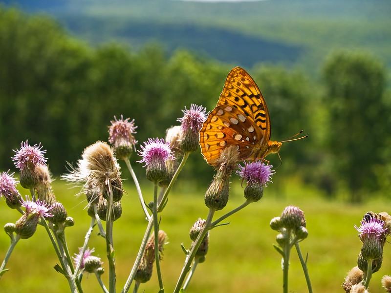 ButterflyInValley
