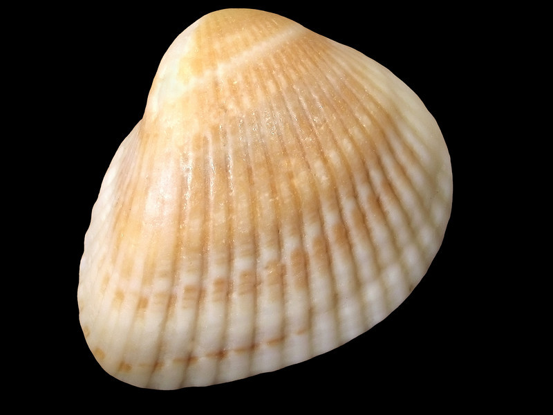 """Shell""<br /> A closeup of a seashell on a black background."