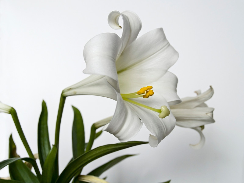 """Easter Lilly""<br /> <br /> The Easter Lilly on a natural white background."