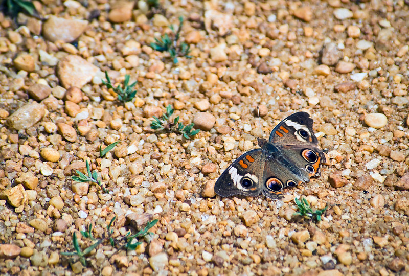 """""""Colorful Moth"""" <br /> A closeup look of a colorful moth on the gravel in Central New Jersey."""