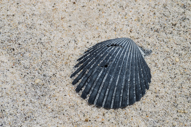 Black Shell on Sand