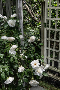 Trellis and White Roses