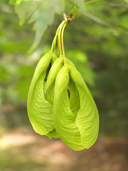 """Helicopters"" <br /> Seed pod from the maple tree we used to call helicopters because of the way they spin when falling to the ground."