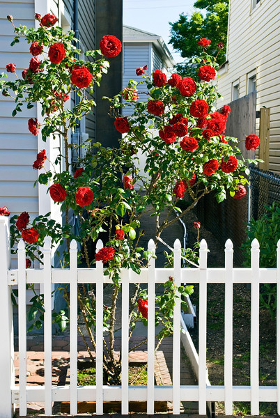 """""""Red Roses and Pickett Fence""""<br /> <br /> Red roses and a white picket fence outside a home in Central, New Jersey."""