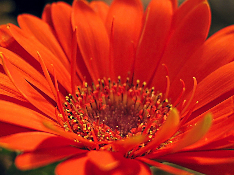 """Petals Up Close""<br /> Orange flower closeup."