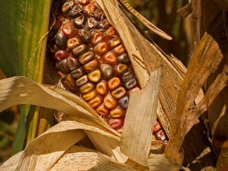 """Indian Corn Close-up""<br /> Harvest time Indian corn close-up photo."