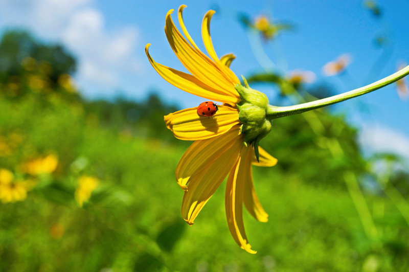 """Ladybug in Field""<br /> A close-up of a ladybug on a yellow wildflower."