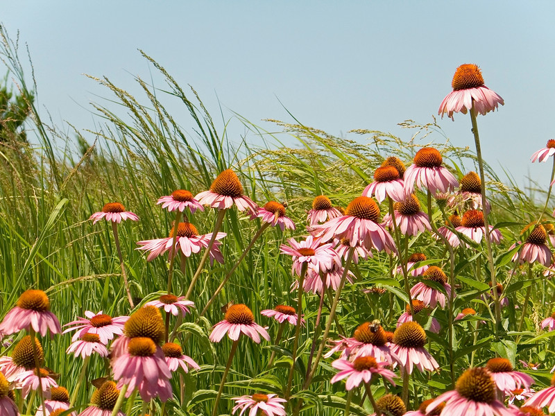"""Cone Flowers"" A field of cone flowers in Secaucus, New Jersey."