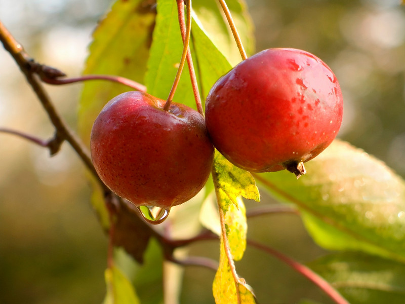 """Crab Apples""<br /> A closeup look at crab apples on a tree."