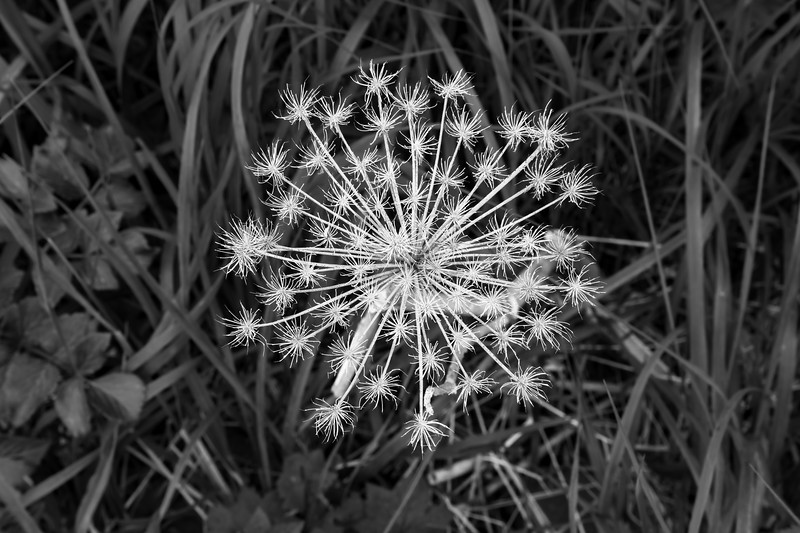 Seed Pod Black and White