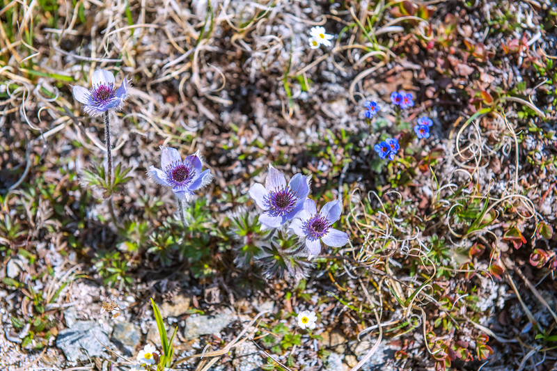 Flowers of the Tundra