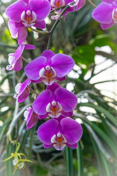 Purple Hanging Orchids