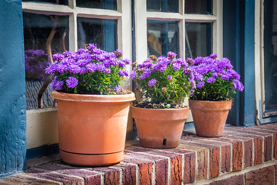 Purple Mums by Window