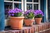 Purple Mums by Window