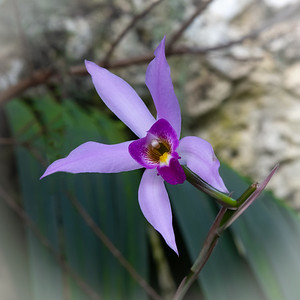 Purple Orchid Closeup