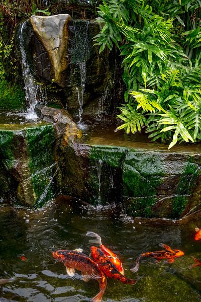 Koi in Water Garden