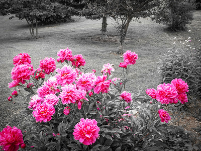 Pink Carnations in the Garden