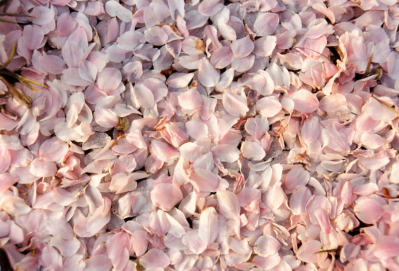 """Petals""<br /> A background photo of Spring petals from blossoming trees on the ground."