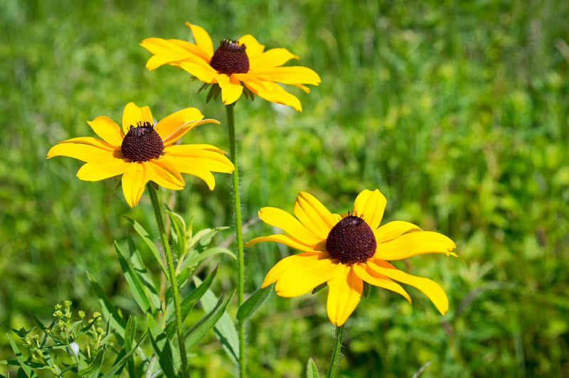 Wild Black Eyed Susans <br /> <br /> Wild black eyed susans in  a Central New Jersey meadow.