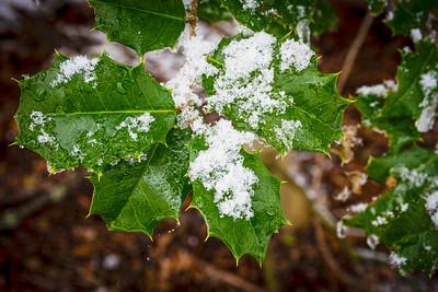 Snow on Holly