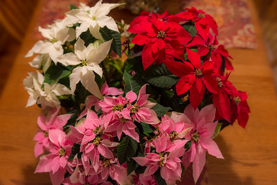 Three Color Poinsettia
