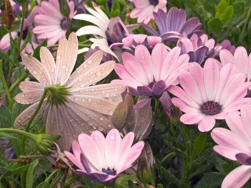 """""""Rainy Daisies""""<br /> Spring rain on the daisies."""