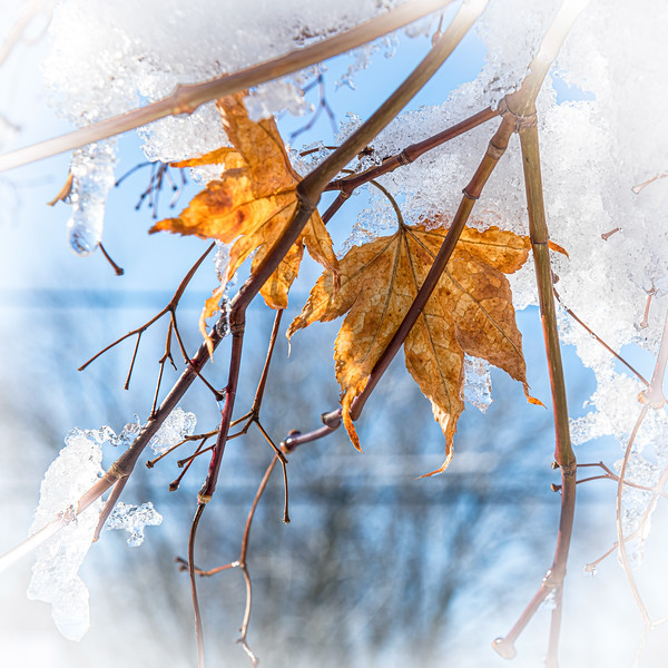 Icy Cold Autumn Leaf