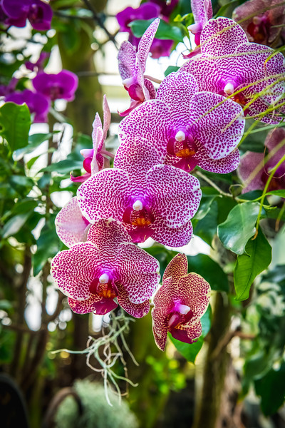 Purple Dotted Orchid