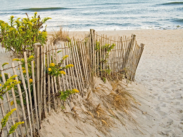 """Dunes and Fence"" Sand dunes and beach wildflowers on Sandy Hook, along the Jersey shore."